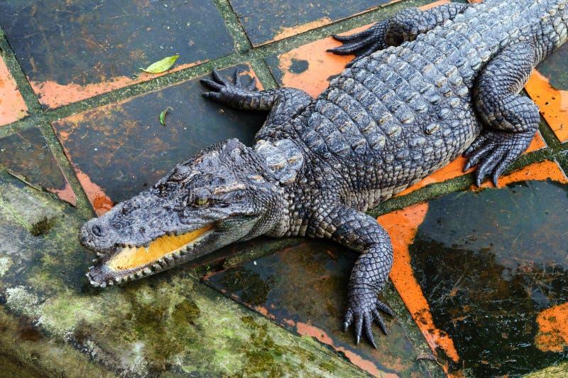 Krokodil met een open mond op een landbouwbedrijf royalty-vrije stock afbeeldingen