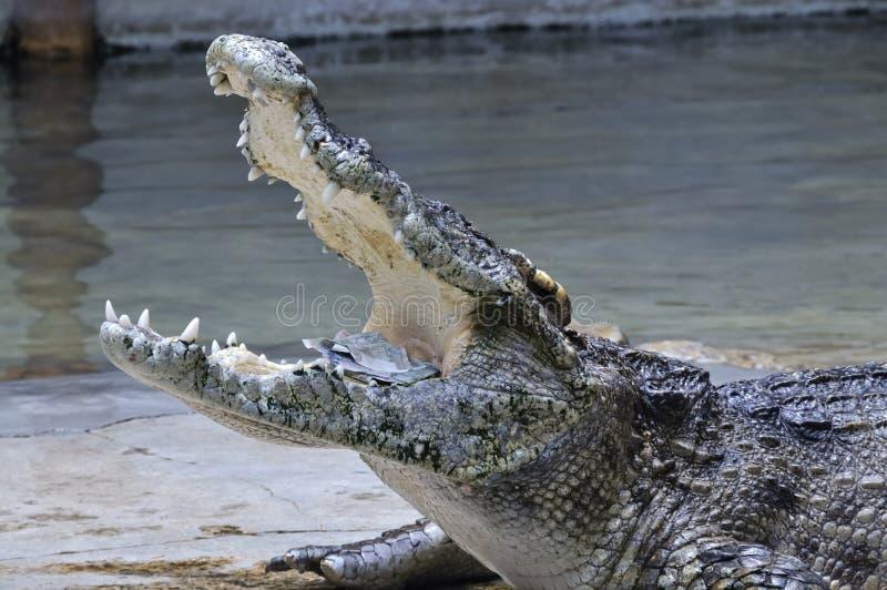 Krokodil met geld in zijn mond, Thailand royalty-vrije stock foto's