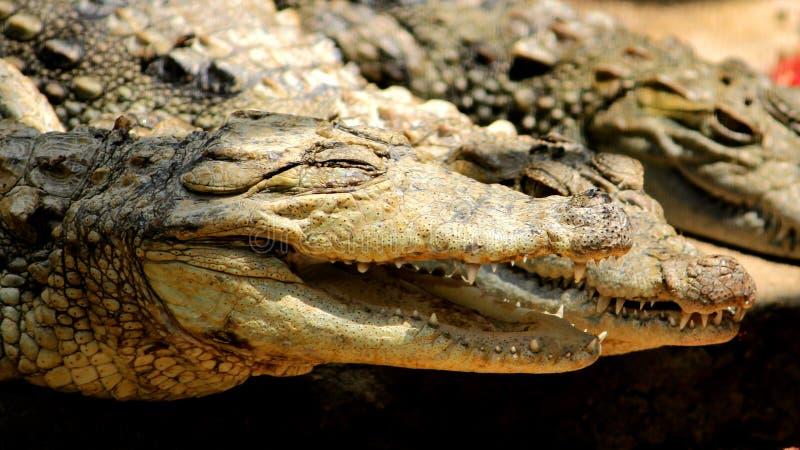 Krokodil met mond brede open stock afbeeldingen