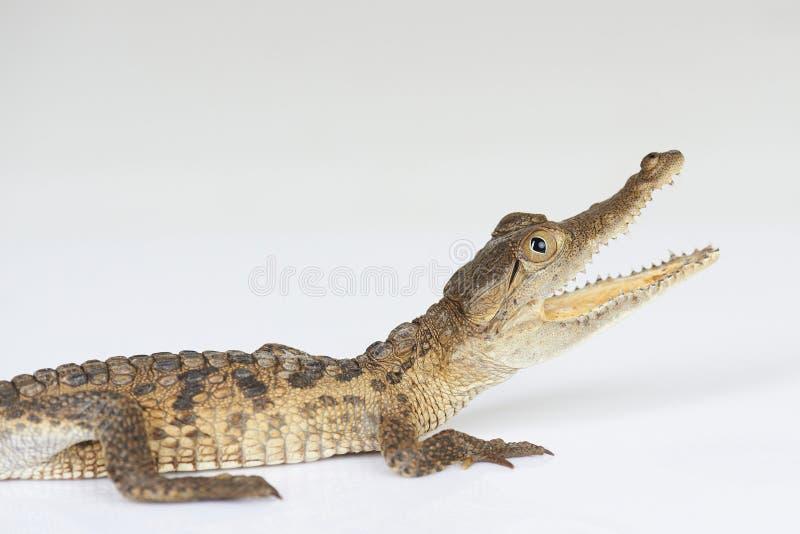 Krokodil met open kaak stock afbeeldingen