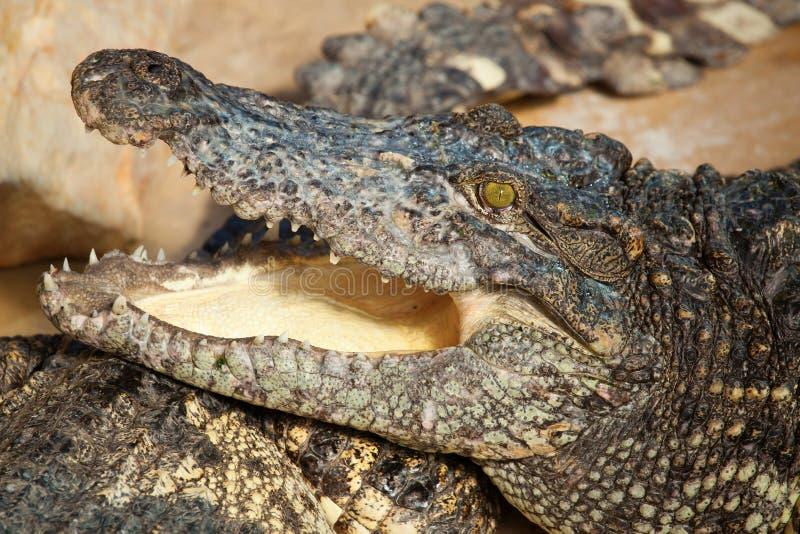 Krokodil met open mond stock afbeeldingen