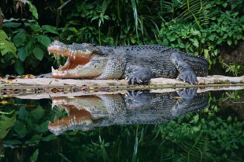 Krokodil met open mond royalty-vrije stock foto's