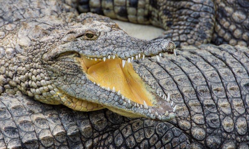 Krokodil met open mond stock foto's