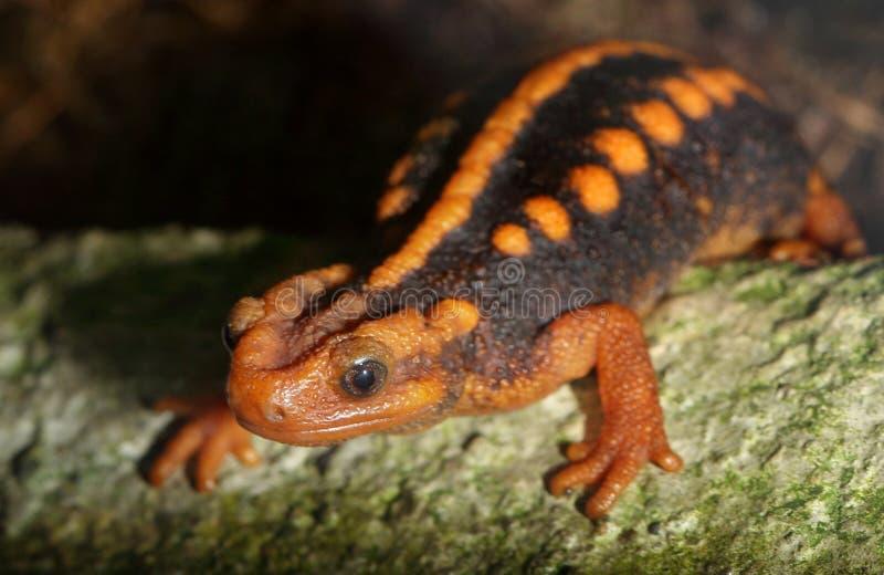 Krokodil newt stock afbeelding