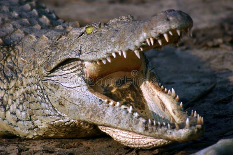 krokodil nile royaltyfria foton
