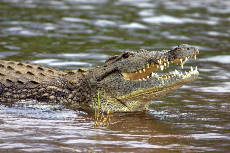 Download Krokodil nile fotografering för bildbyråer. Bild av farligt - 977091