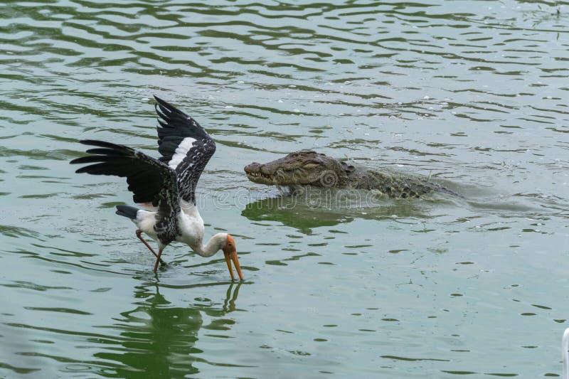 Krokodil och stork som matar på fisk på den Ranthambhore nationalparken arkivbild