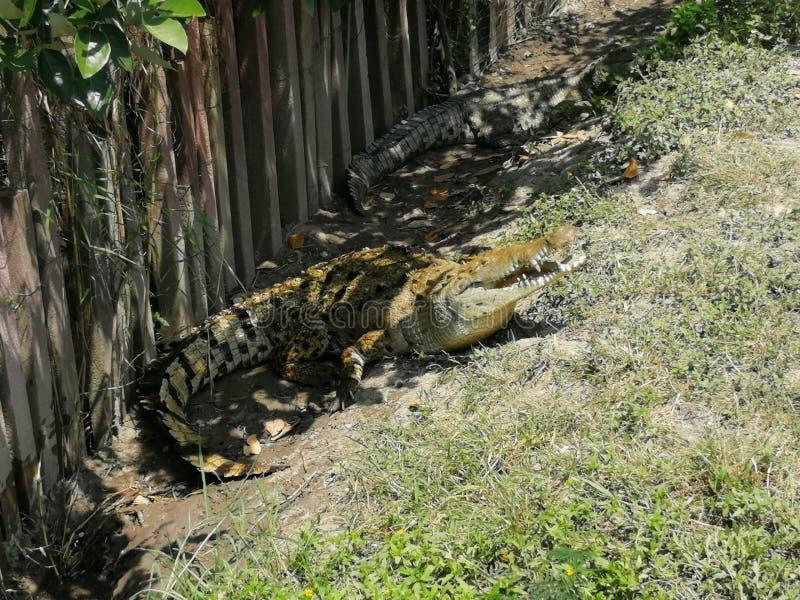 Krokodil op Santay-Eiland royalty-vrije stock afbeeldingen