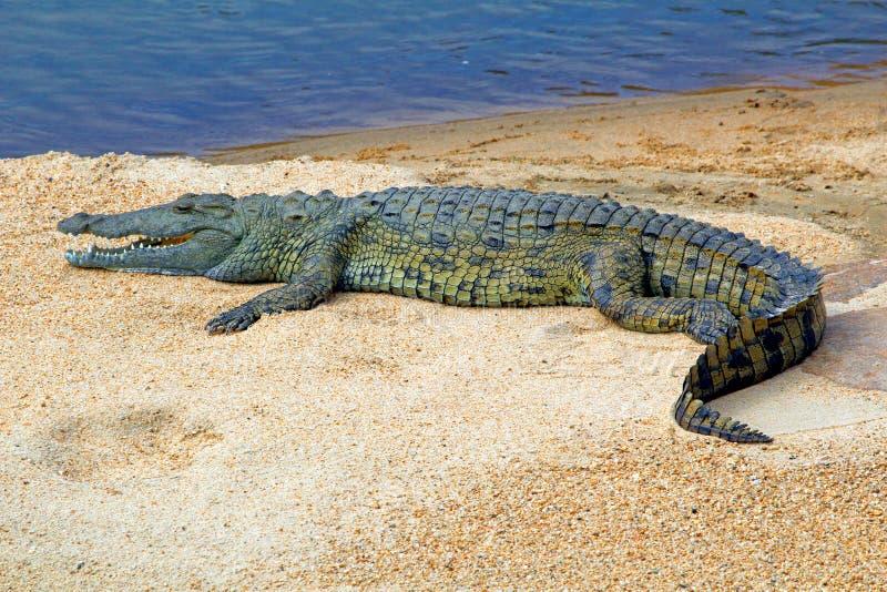 Krokodil op zandbank in Swasiland/Eswatini stock afbeelding