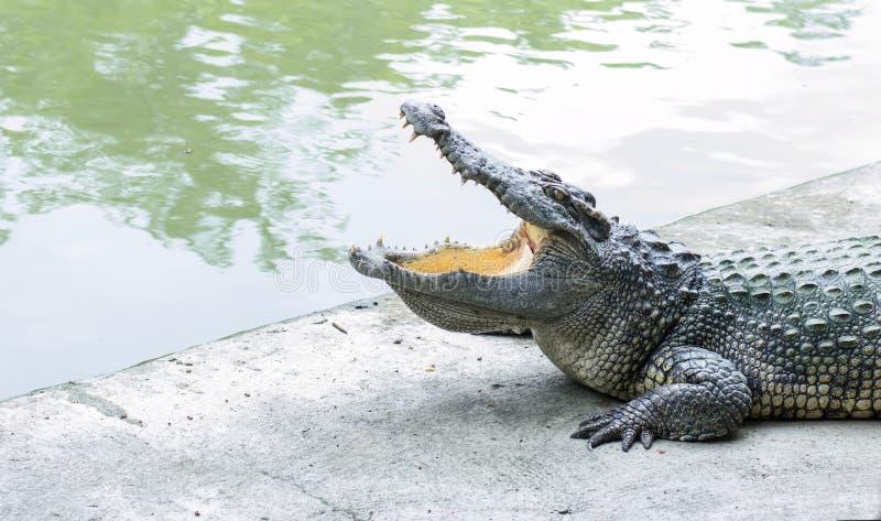 Krokodil open mond bij dierentuin stock foto