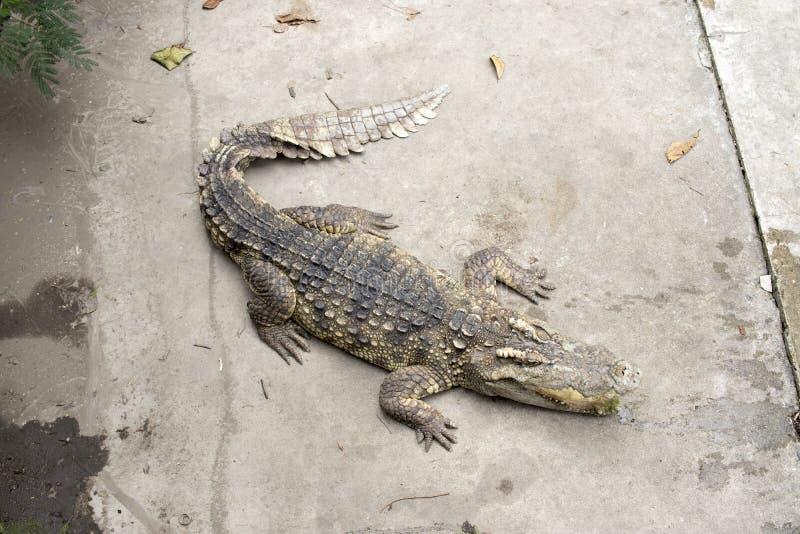 Krokodil på det konkreta golvet i lantgård royaltyfria bilder