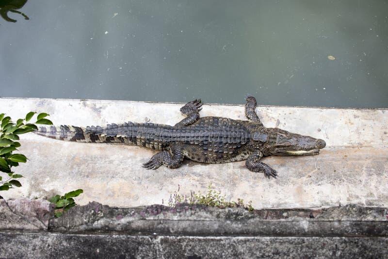 Krokodil på det konkreta golvet i skog arkivbild