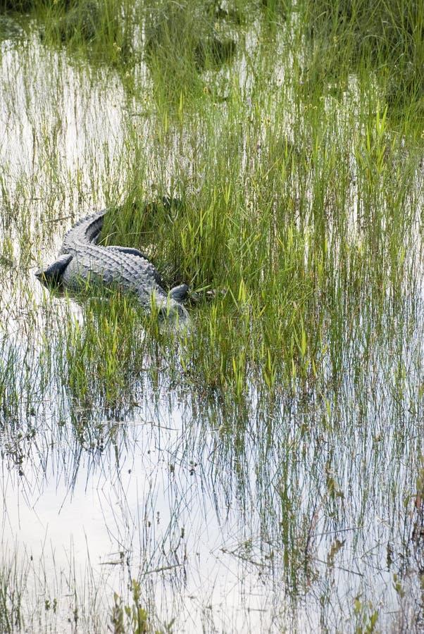 Krokodil pirscht geduldig sich im Sumpf an lizenzfreies stockbild
