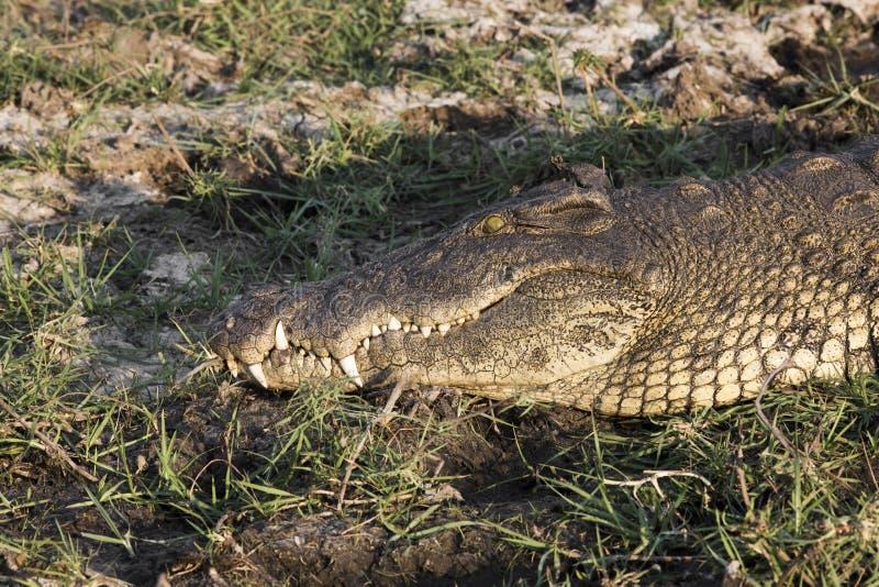 Krokodil in Privé het Spelreserve van Erindi in Nambia royalty-vrije stock foto's