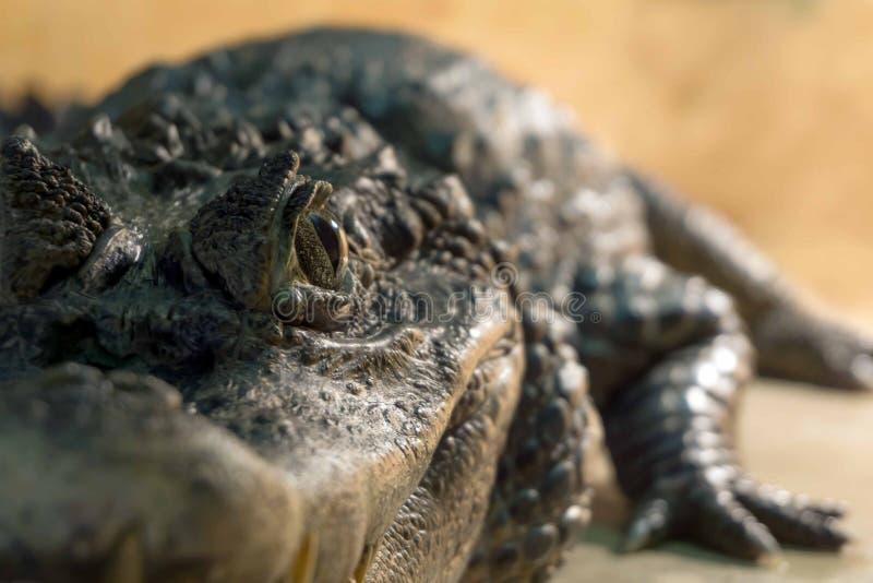 Krokodil` s oog royalty-vrije stock afbeeldingen