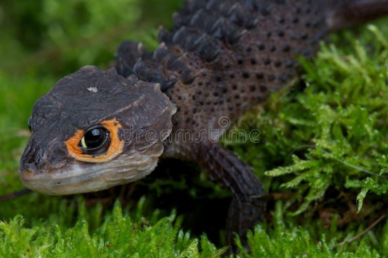 Krokodil skink stock foto