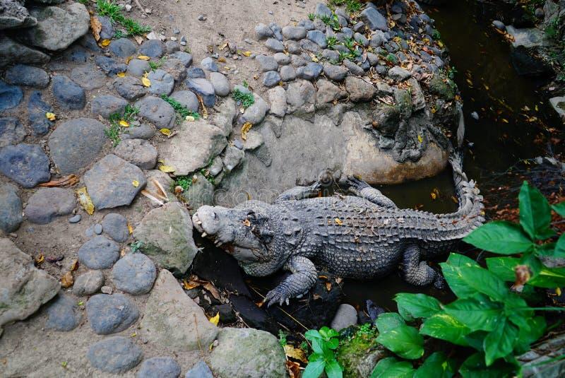 Krokodil som lurar i grop royaltyfri foto