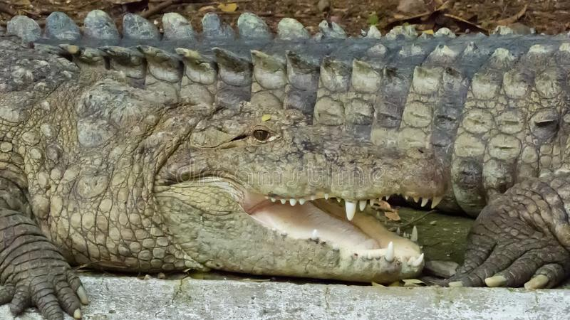 Krokodil som ner kyler, genom att hålla munnen öppen, Indore zoo-Indien royaltyfri foto