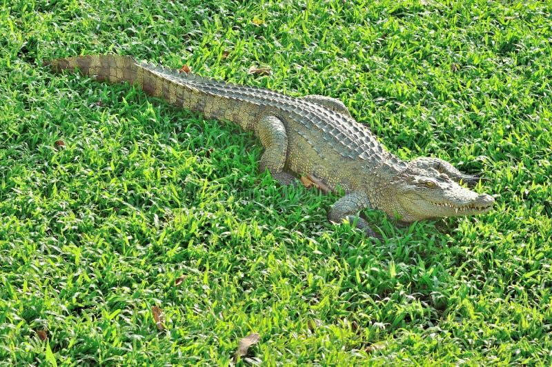 Krokodil som solbadar på exponeringsglaset royaltyfria bilder