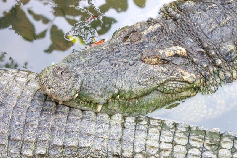 Krokodil som sover i vattnet arkivfoton