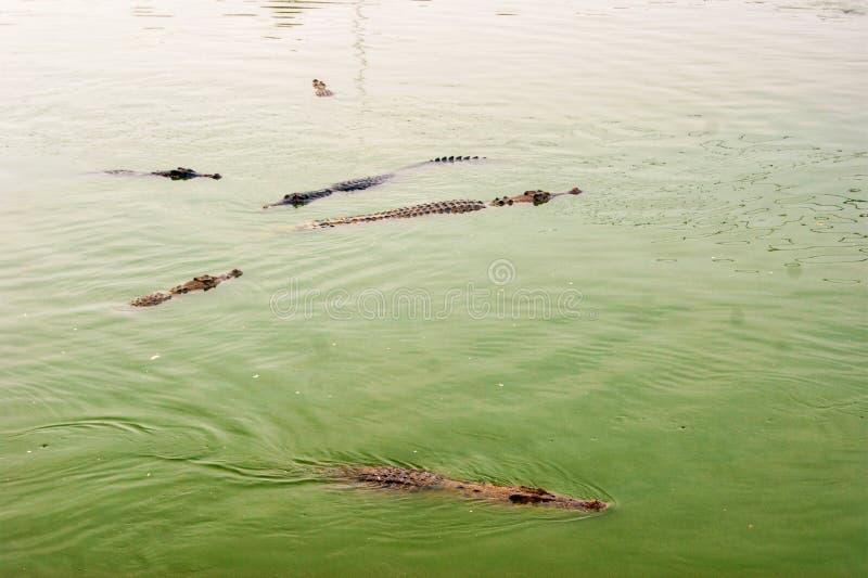 Krokodil som väntar för att äta i vattnet Farligt djur i floden kopiera avstånd Selektivt fokusera arkivbild
