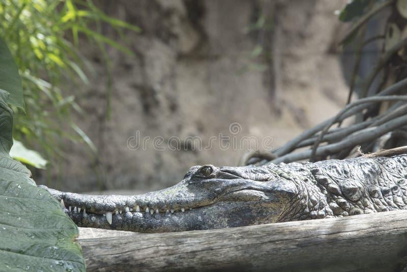 Krokodil som värma sig i solen i ett djungelområde royaltyfria bilder