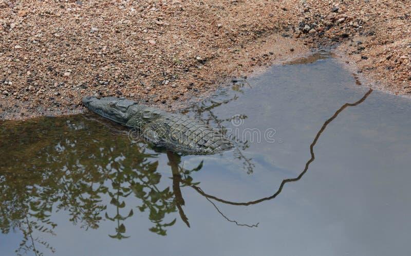 Krokodil som värma sig i sunen på den Kruger nationalparken arkivbilder