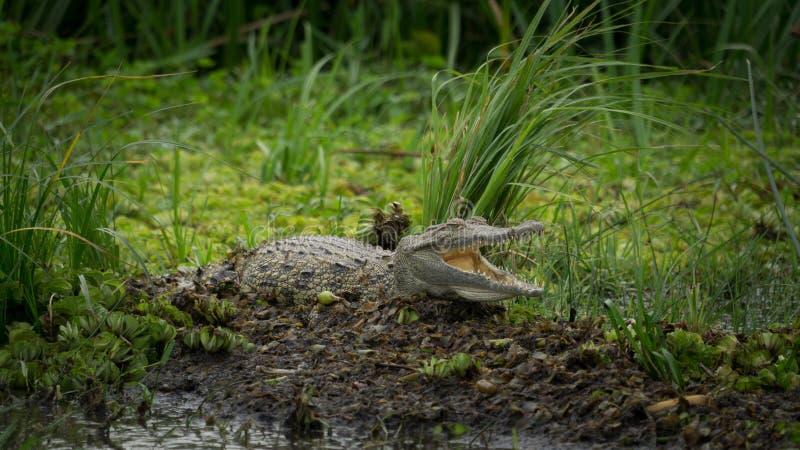 Krokodil som vilar och ler med grön bakgrund arkivbild