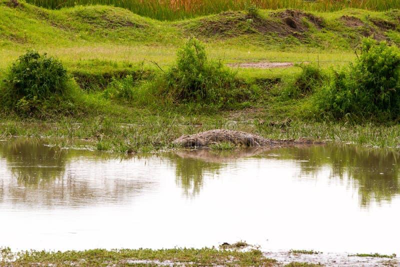 Krokodil subfamily Crocodylinae in het water in Serengeti stock foto's