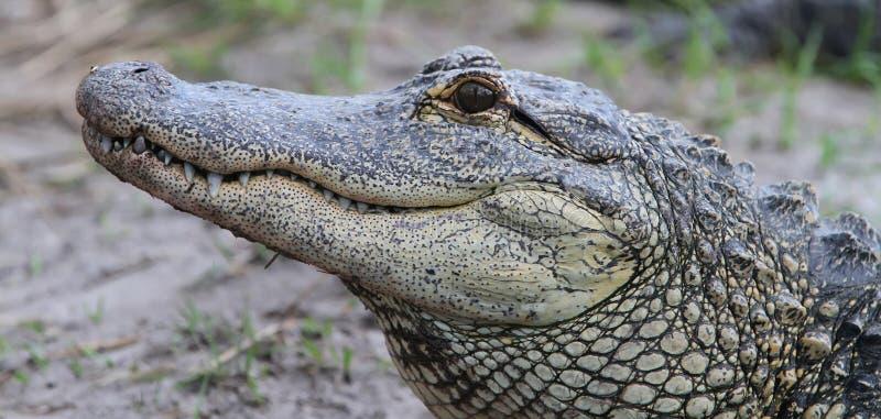 Krokodil-Sumpfgebiete Florida-Aligators stockfoto
