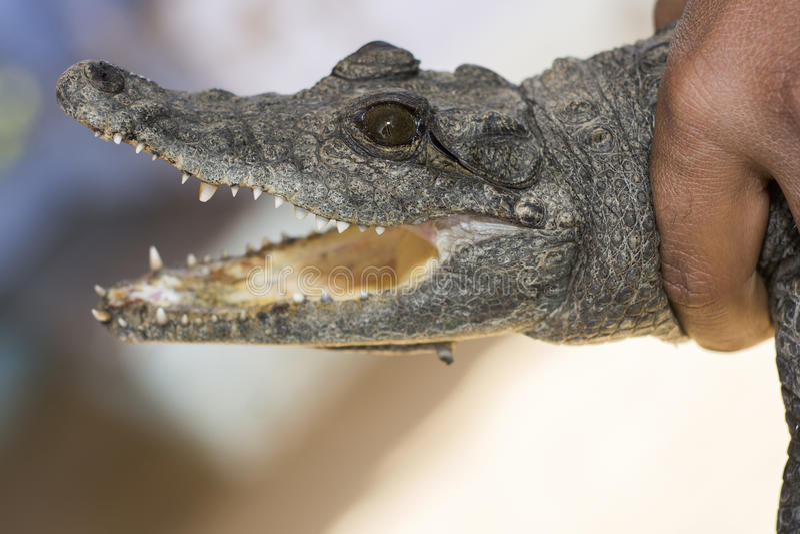 Krokodil ter beschikking royalty-vrije stock foto's
