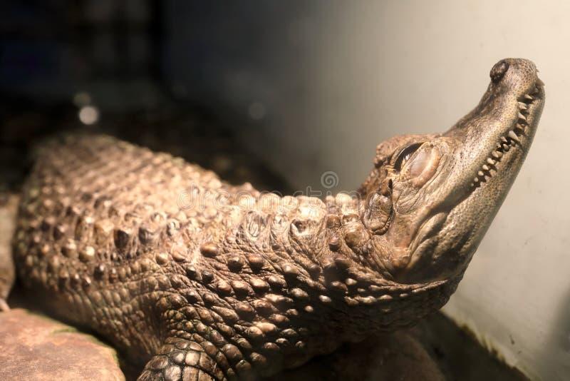 Krokodil in terrarium royalty-vrije stock foto's