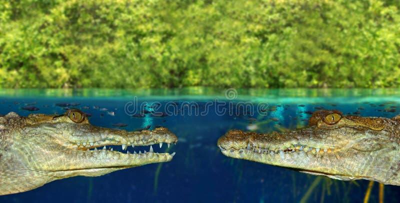 Krokodil twee ziet elkaar in mangrovemoeras onder ogen stock foto's