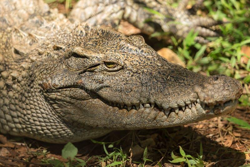 Krokodil van de close-up de hoofdkaaiman stock foto's