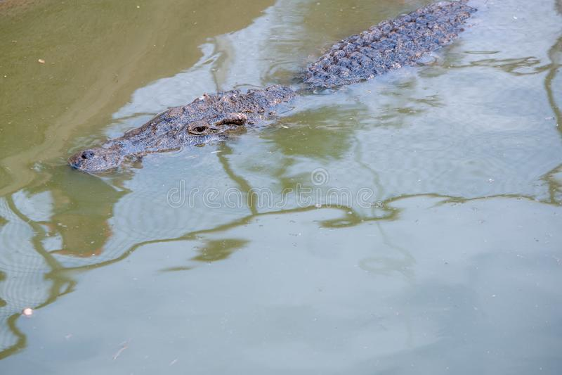 Krokodil in water stock foto