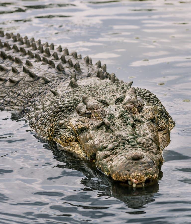 Krokodil in water stock foto's
