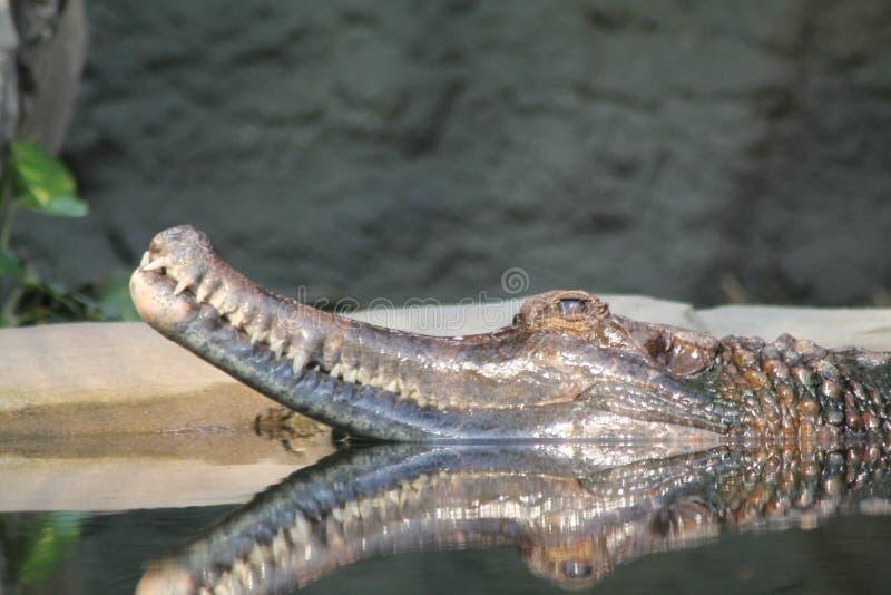 Krokodil in water royalty-vrije stock foto