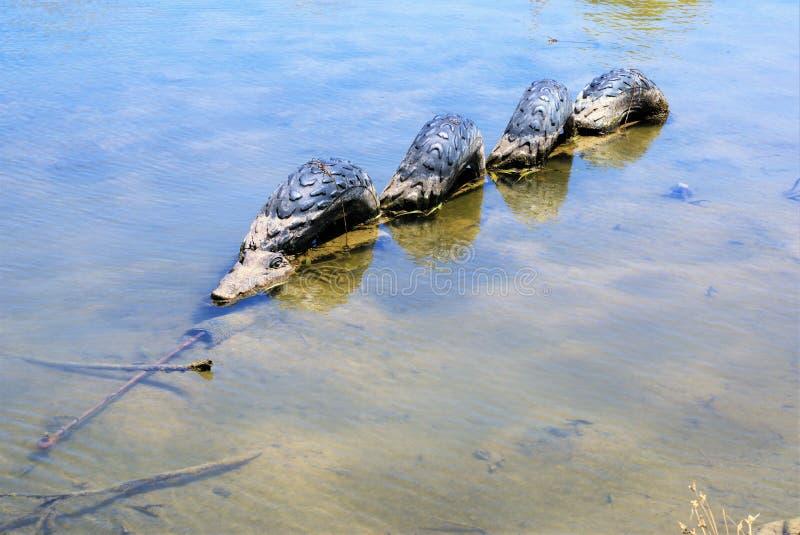 Krokodil in water of alligator in water royalty-vrije stock afbeeldingen