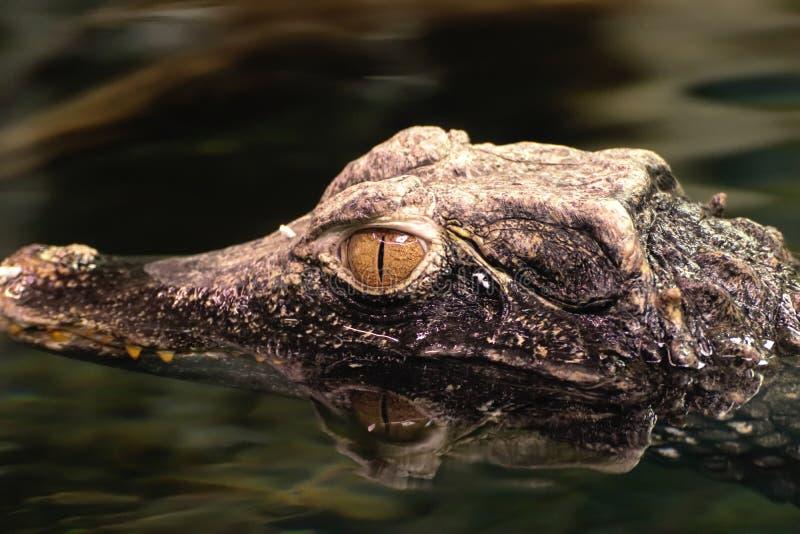 Krokodil in water met waterbezinning stock afbeeldingen