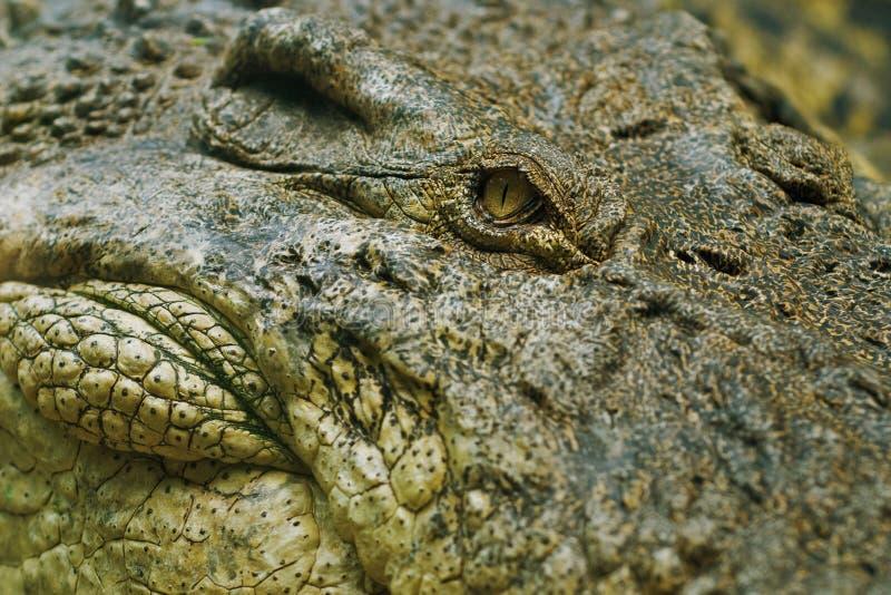 Krokodilauge Stockfotos