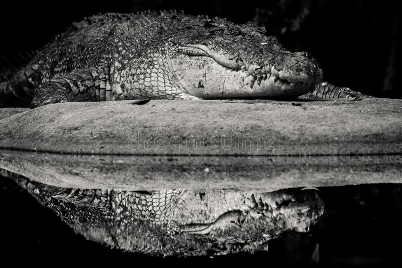 Krokodilbezinning royalty-vrije stock afbeeldingen