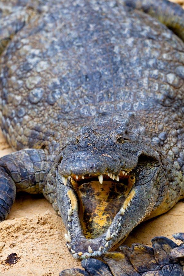 krokodilcrocodylusnile niloticus arkivbilder