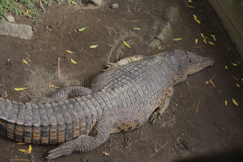 krokodile lizenzfreies stockbild