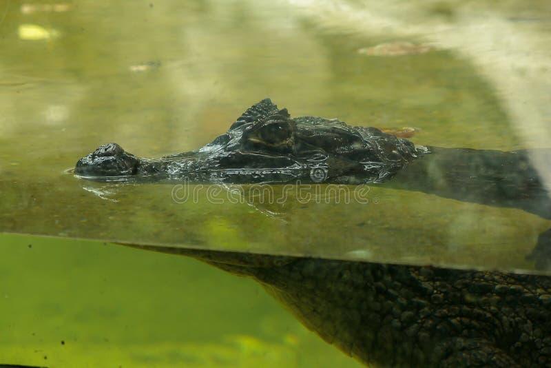 Krokodilen ?r i vattnet arkivfoton