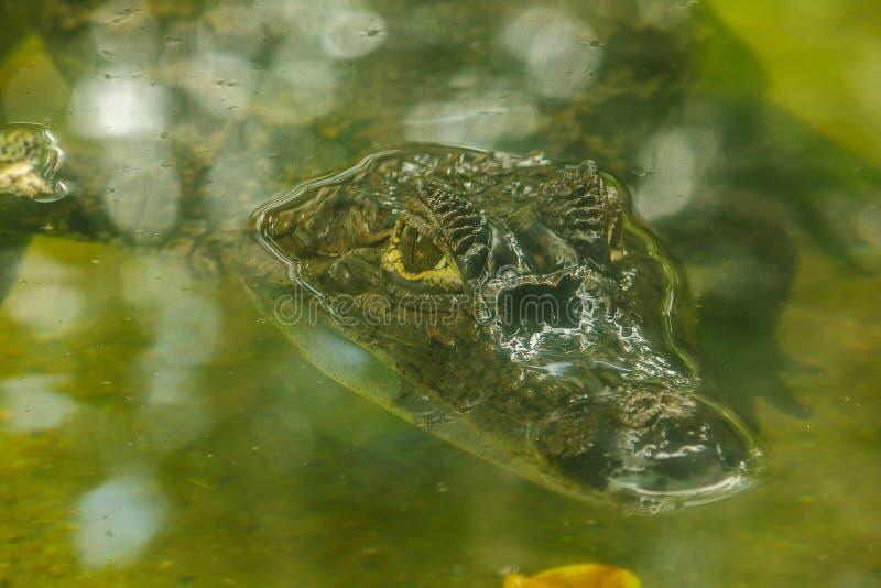Krokodilen ?r i vattnet arkivfoto