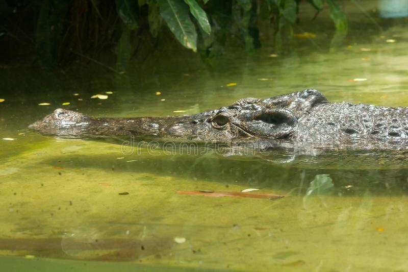 Krokodilen ?r i vattnet royaltyfri fotografi