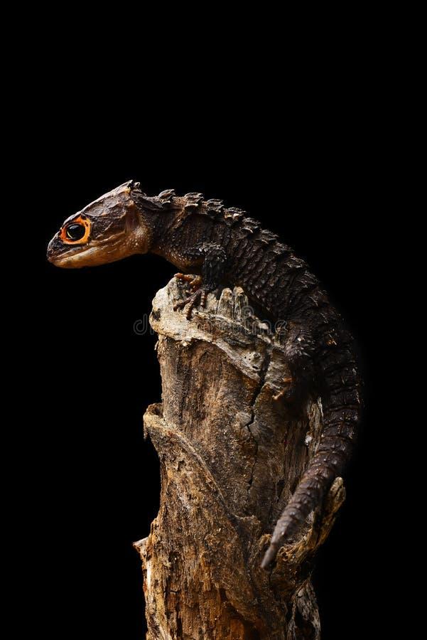 Krokodilen Skink -7 royaltyfri foto
