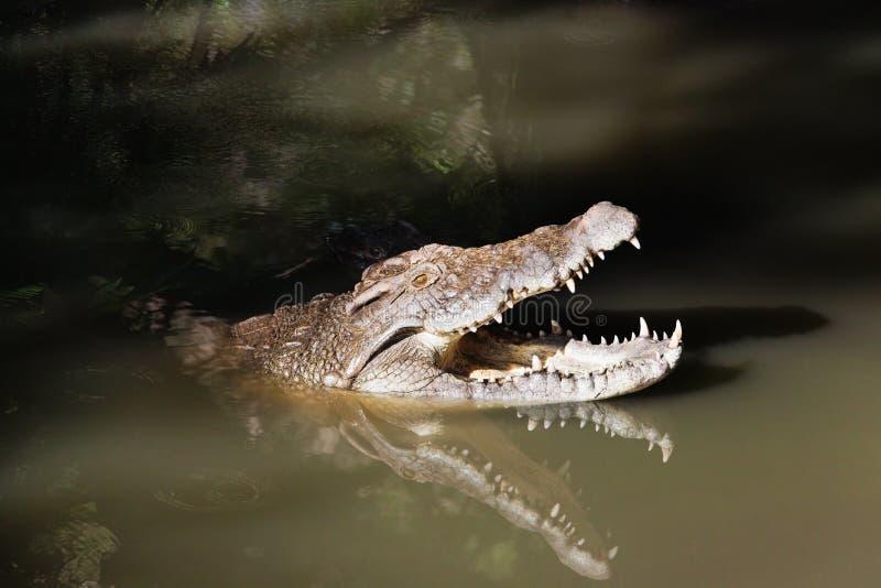 krokodiler royaltyfri foto