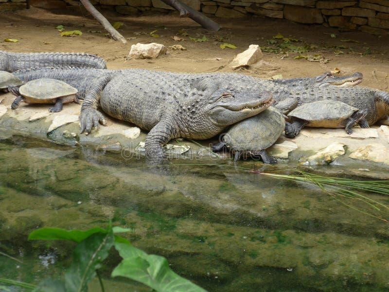 Krokodiler och sköldpaddor som tillsammans vilar arkivfoton