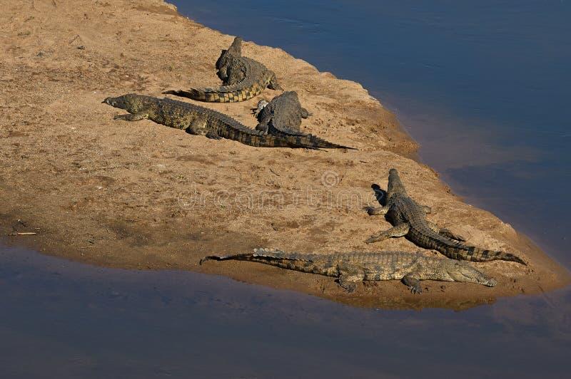 Krokodiler på Crocodile River, Kruger nationalpark arkivfoton